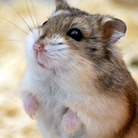 Small pet hamster care