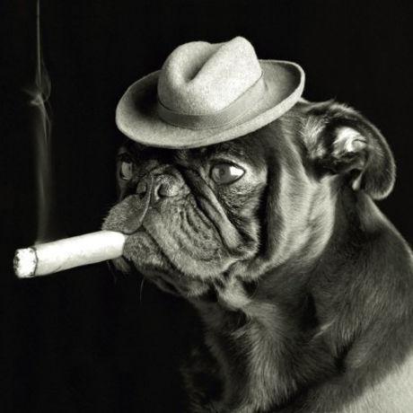 Ej lowe pug smoking a cigar