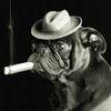 Small ej lowe pug smoking a cigar