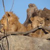 Small lions at zoo