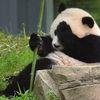 Small bao bao panda