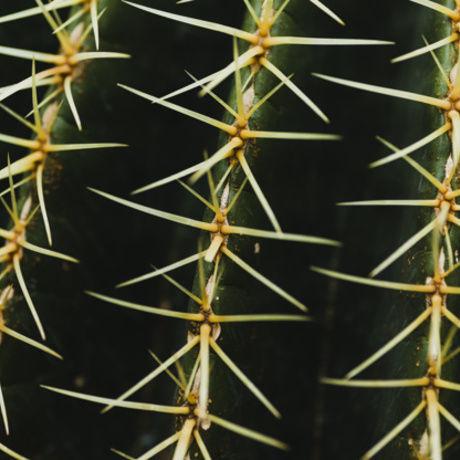 Close up cactus thorns 23 2147811135