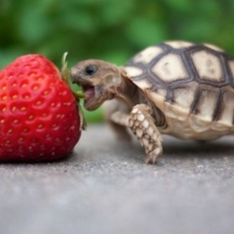 What does the baby box turtle eat 620x350
