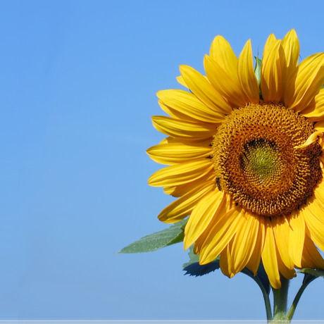 Sunflower2 1920x1080