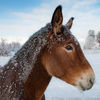 Small icy mule stare